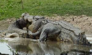 Σπάνιο βίντεο: Κροκόδειλος τρώει… κροκόδειλο!