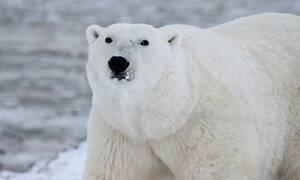Τρόμος: Δεκάδες πεινασμένες αρκούδες εισέβαλαν σε χωριό (vid)