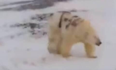 Μυστήριο με το «γκράφιτι» της αρκούδας: Τι εξηγούν οι επιστήμονες