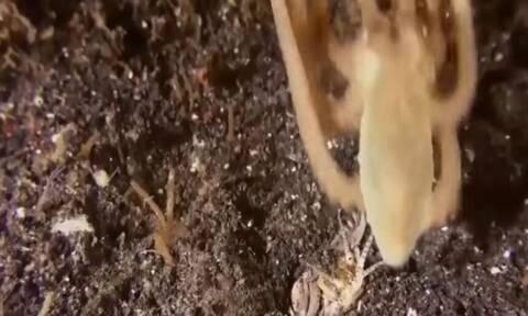 Σκουλήκι «Φαραώ» στήνει... καρτέρι σε χταπόδι! Δεν φαντάζεστε τι ακολουθεί (video)