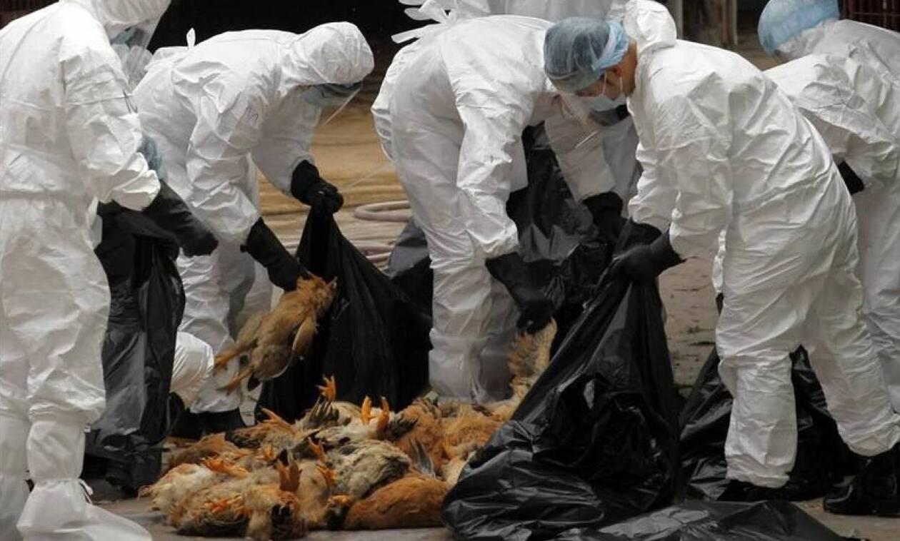 Τρόμος στην Ευρώπη: Επέστρεψε η γρίπη των πουλερικών - 27.000 θανατώσεις σε 24 ώρες