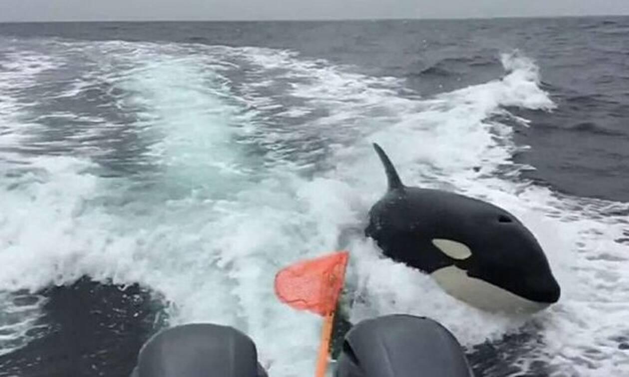 Φάλαινα δολοφόνος παίρνει στο κυνήγι σκάφος! (vid)