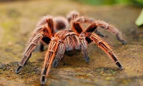 Ανατριχίλα: Βρήκαν νέο είδος αράχνης - Προσοχή! Σκοτώνει με τοξικό δηλητήριο