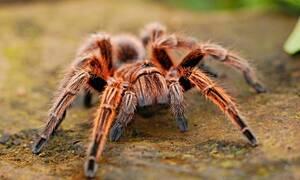 Ανατριχίλα: Βρήκαν νέο είδος αράχνης που σκοτώνει με τοξικό δηλητήριο (pics - vid)