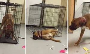 Παμπόνηρος σκύλος! Δείτε πώς «δραπετεύει» από το κλουβί! (vid)