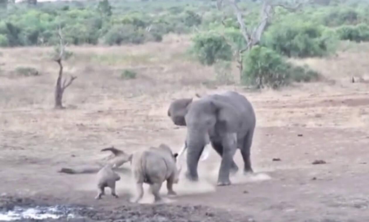 Ρινόκερος προκαλεί ελέφαντα και το μετανιώνει ΠΙΚΡΑ! Δείτε το βίντεο