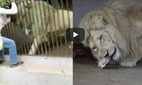Τρόμος σε ζωολογικό κήπο: Η στιγμή που λιοντάρι αρπάζει το χέρι φύλακα