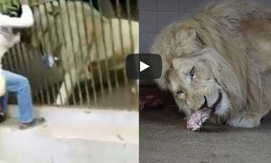 Τρόμος σε ζωολογικό κήπο: Η στιγμή που λευκό λιοντάρι αρπάζει το χέρι φύλακα