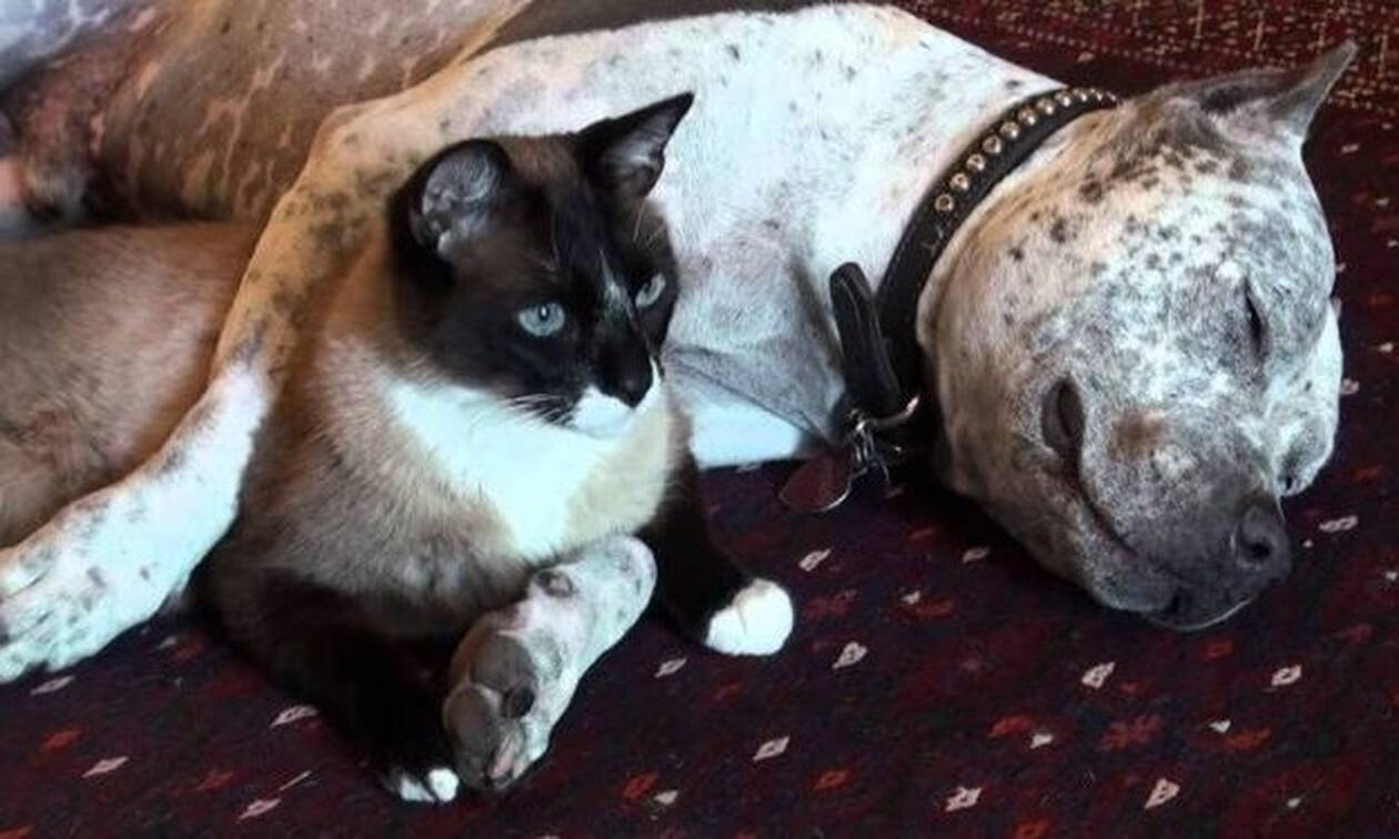 Τυφλό πιτ μπουλ αγκαλιάζεται με γατάκι! (vid)