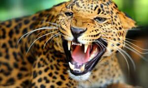 Φρίκη: Λεοπάρδαλη διαμέλισε και έφαγε 5χρονο παιδί