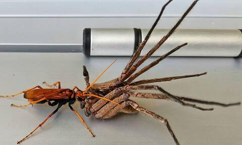 Μπήκε σπίτι και «πάγωσε» όταν είδε μία σφήκα να σκοτώνει ταραντούλα (vid)