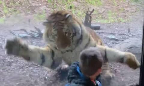 Τίγρης… επιτίθεται σε 7χρονο: «Ήταν το σημερινό μενού του»