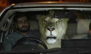 Απίστευτο: Έβαλαν στο αμάξι ένα λιοντάρι 300 κιλών!