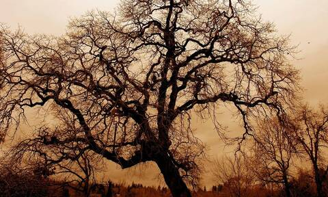 Το «Δέντρο της Χρονιάς» είναι μια βελανιδιά 500 ετών