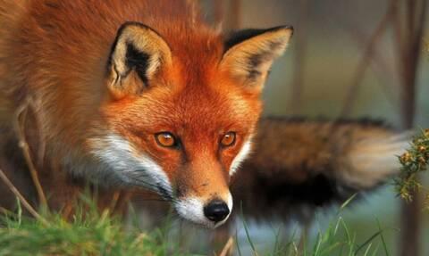 Αλεπού επιτέθηκε σε 5χρονη στο Πήλιο