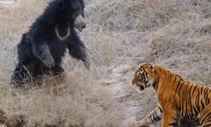 Μάχη μέχρι θανάτου: Γιγάντια τίγρη ενάντια σε μανιασμένη αρκούδα