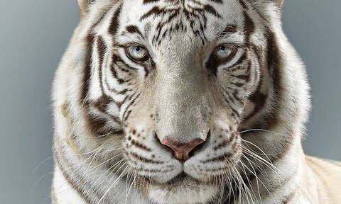 Απίστευτο: Αυτό δεν το ήξερες για τις τίγρεις