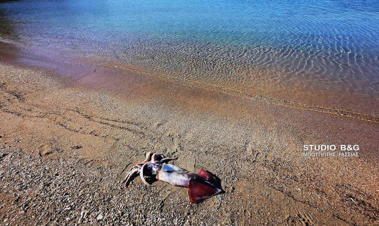 Τρομερή ψαριά στο Ναύπλιο: Ψαροντουφεκάς έπιασε καλαμάρι γίγας - Απίστευτες εικόνες