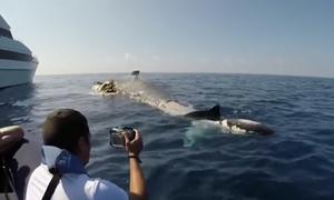 Καρχαρίες «ξεσκίζουν» κουφάρι φάλαινας! (video)