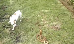 Σκύλος επιτίθεται σε βασιλική κόμπρα για να προστατέψει την οικογένειά του! (video)