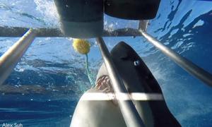 Δέος: Τα σαγόνια του καρχαρία μπήκαν ΜΕΣΑ στο κλουβί του δύτη! (vid)