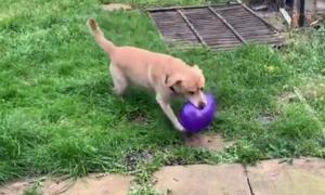Σκύλος παίζει με μπαλόνι και ξαφνικά… μπαμ! Δείτε το ξεκαρδιστικό video