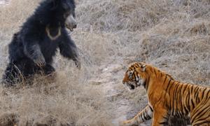 Μάχη μέχρι θανάτου: Γιγάντια τίγρη ενάντια σε μανιασμένη αρκούδα (vid)