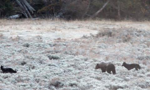 Πεινασμένοι λύκοι συναντούν πεινασμένες αρκούδες! Αυτό που ακολουθεί δεν το φαντάζεστε... (video)