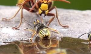 Σφήκα-φονιάς κατατροπώνει ολόκληρο μελίσσι! (video)