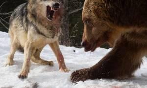 Αρκούδα συναντάει λύκους στο δάσος κι αυτό που ακολουθεί ξεπερνάει τη φαντασία! (vid)
