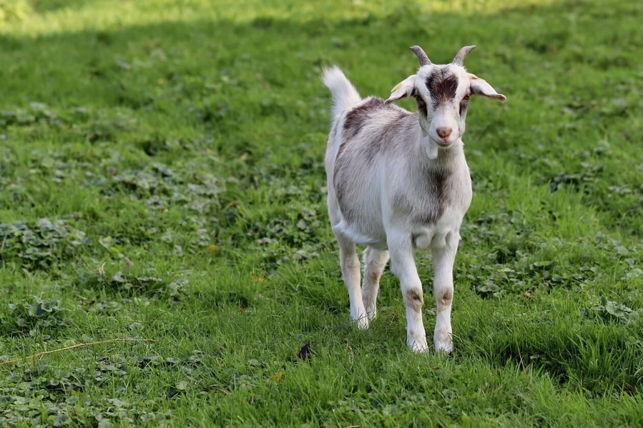 goat-4616199_1280.jpg