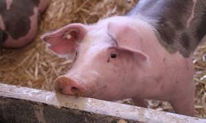 Αποτροπιασμός: Εδεσαν γουρούνι σε σχοινί μπάντζι τζάμπινγκ για να κάνουν εγκαίνια – ΣΚΛΗΡΕΣ ΕΙΚΟΝΕΣ