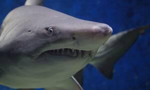 Καρχαρίας κατασπάραξε σέρφερ - Σκληρές εικόνες