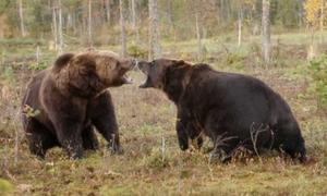 Λυσσασμένες αρκούδες παλεύουν μέχρι θανάτου! (vid)