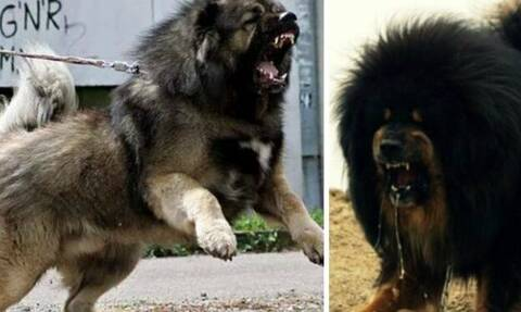 Tο πιο αιμοβόρικο τσοπανόσκυλο του κόσμου! (video)