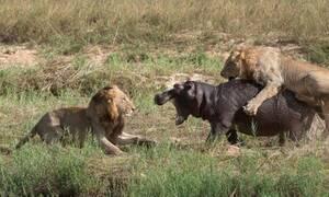 Πέντε λιοντάρια κάνουν «ντου» στον ιπποπόταμο αλλά αυτός είναι… βράχος!