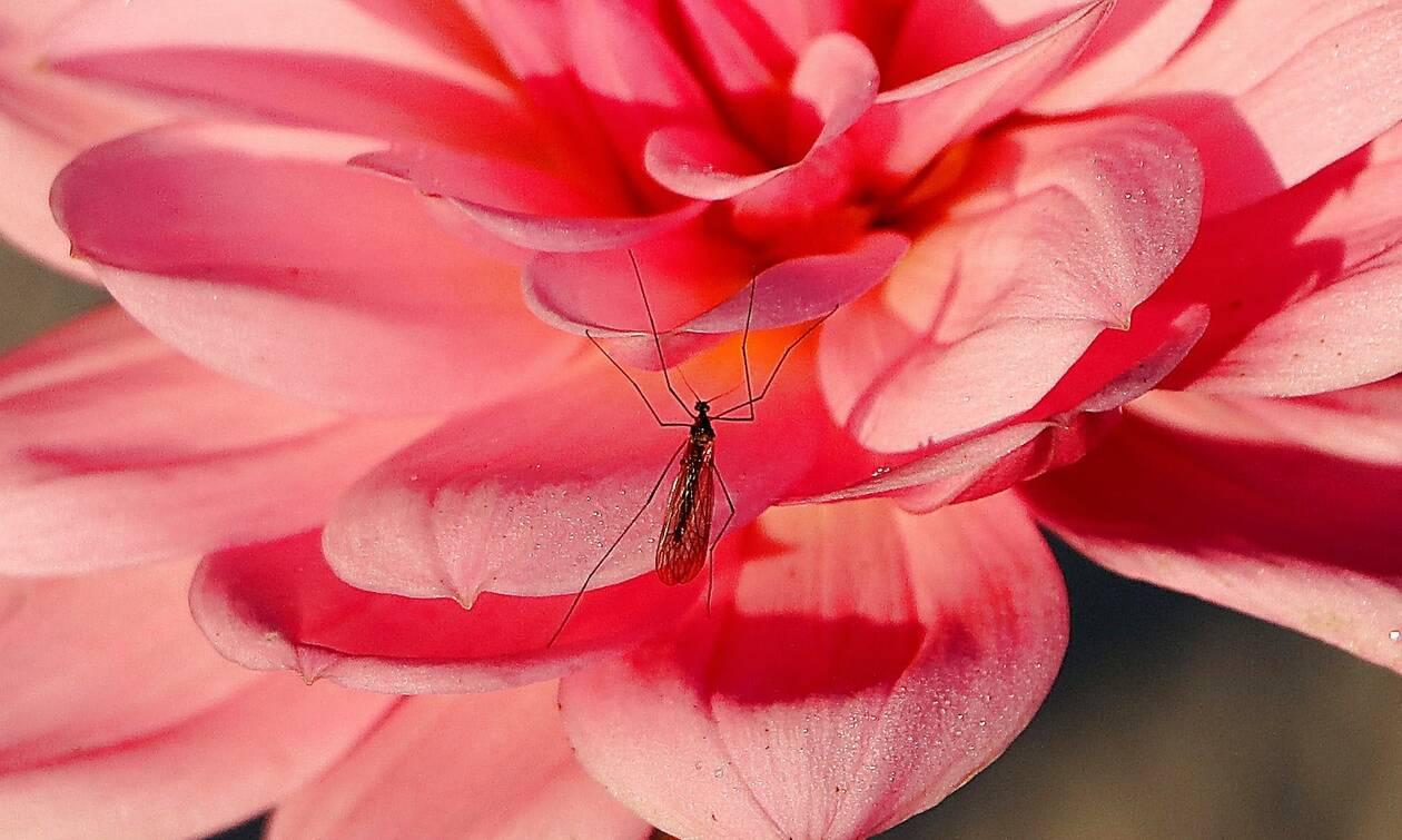 Τρόμος: Δείτε το κουνούπι-τέρας που φωτογράφισε σπίτι του (photo+video)