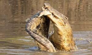 Σκληρές εικόνες: Κροκόδειλος καταβροχθίζει τον… ξάδερφό του! (vid)