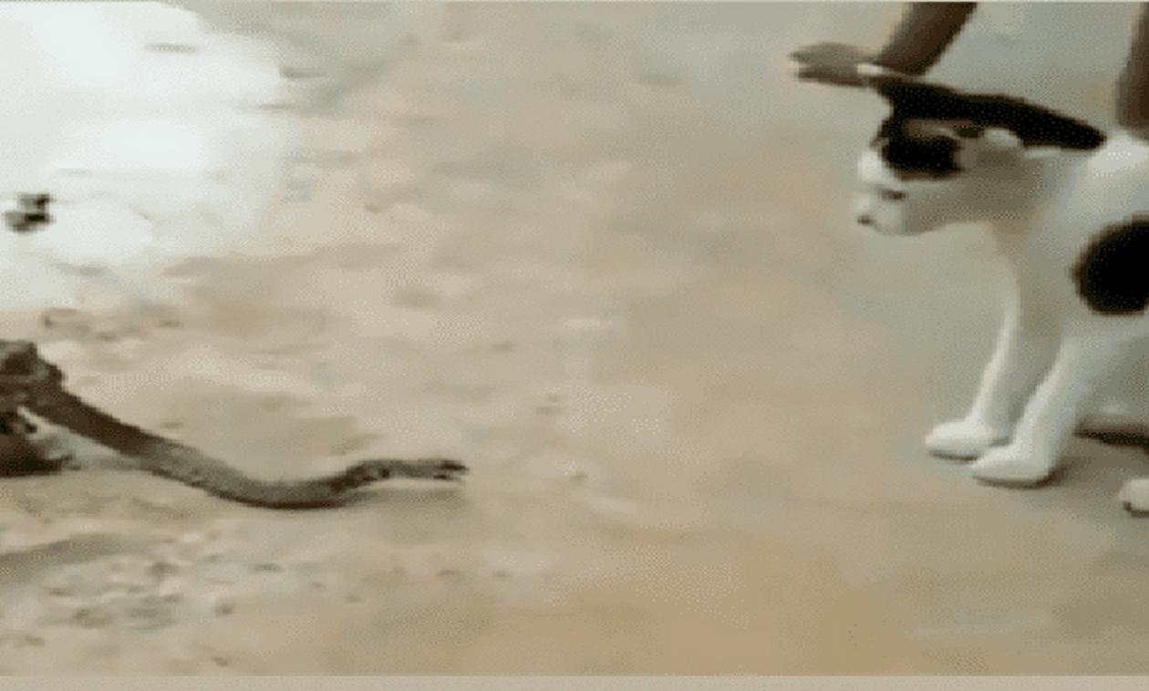 Video: Φίδι τσακώνεται με γάτα ενώ το καταπίνει ένας βάτραχος