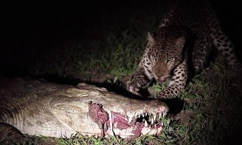 Λεοπάρδαλη βλέπει κροκόδειλο με θήραμα στο στόμα - Αυτό που έκανε είναι εκπληκτικό (vid)