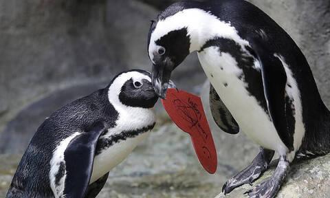 Οι πιγκουίνοι μιλούν... όπως ο άνθρωπος! - Τι αποκαλύπτουν επιστήμονες