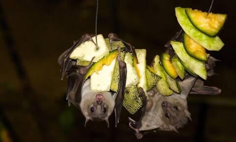 Ατρόμητοι οι Ινδονήσιοι: Συνεχίζουν να καταναλώνουν νυχτερίδες