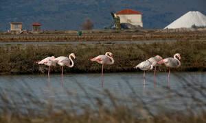 Απίστευτες εικόνες: Τα φλαμίνγκο «πλημμύρισαν» τη Μυτιλήνη