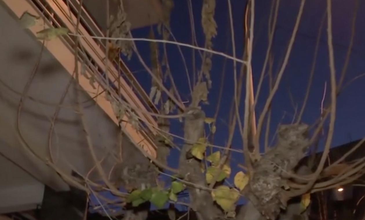 Το έντομο που καταστρέφει τις μουριές της Αθήνας (video)