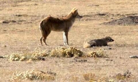 Αδιανόητο βίντεο: Κογιότ και ασβός πάνε μαζί για κυνήγι!