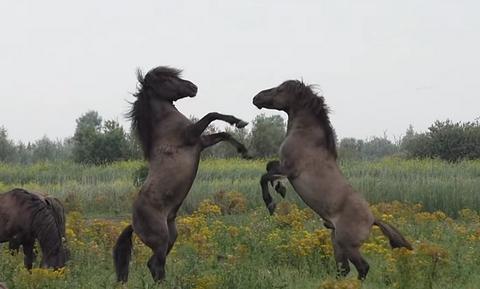 Επική μάχη μεταξύ δύο άγριων αλόγων - Δείτε γιατί (vid)