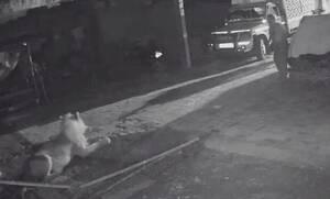 Κάμερα ασφαλείας: Αγρότης «τσακίζει» λιοντάρι για να σώσει το κοπάδι του!
