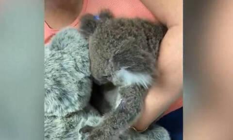 Συγκίνηση: Ορφανό κοάλα βρίσκει «καταφύγιο» στην αγκαλιά λούτρινου