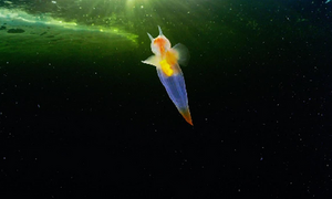 Εντοπίστηκε ο... «εξωγήινος άγγελος» της θάλασσας! Θα πάθετε σοκ με το θέαμα... (video)
