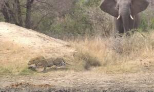 Ο ελέφαντας έκανε τρελό… χουνέρι σε λεοπάρδαλη!